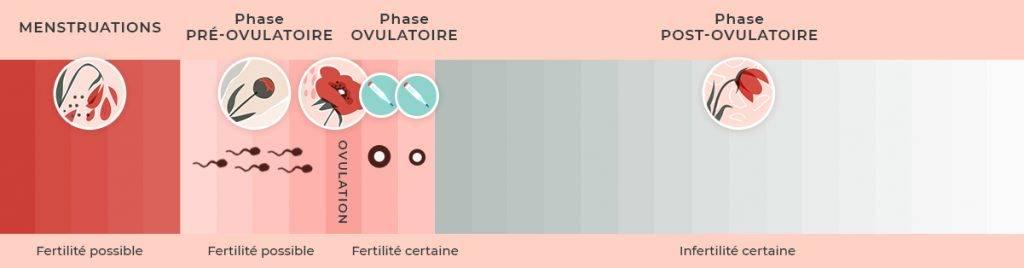 cycle menstruel court